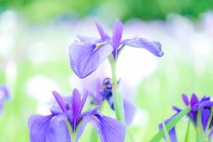 アヤメ(菖蒲、文目)の花言葉は?色別や種類別の花言葉や由来も紹介